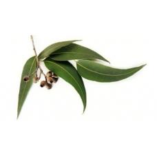 Eucalyptus- [Xi'an Taima]