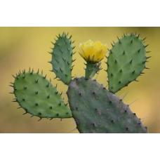 Cactus- [Xi'an Taima]